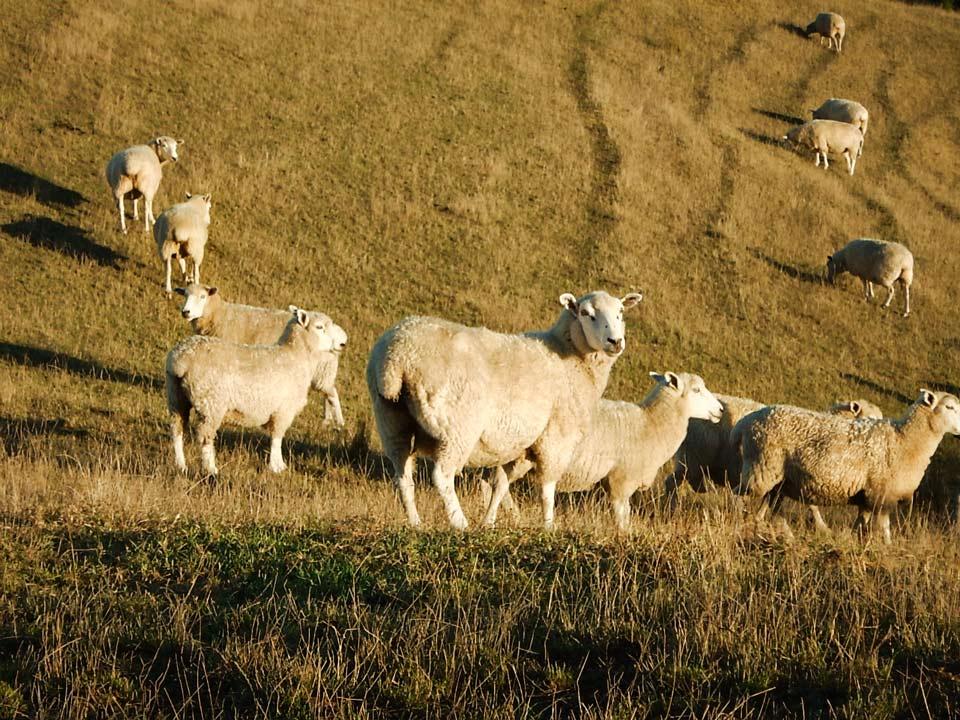 Schafe-wenig-Begeisterung-zeigend