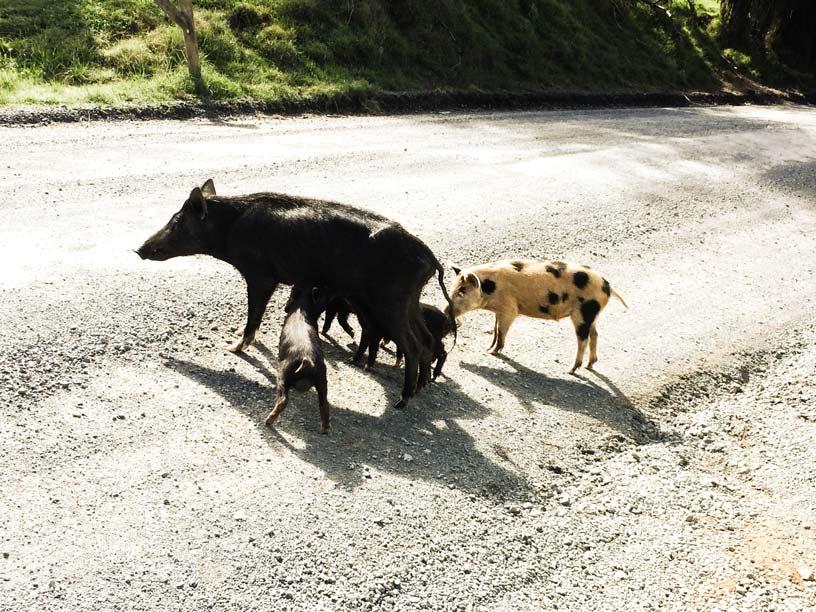 Schweine-über-Schweine