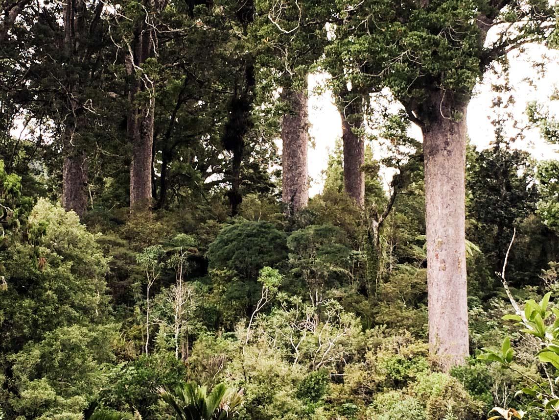 Urwald-mit-Kauribäumen