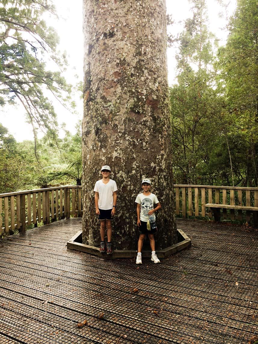 Vor-dem-KAuribaum