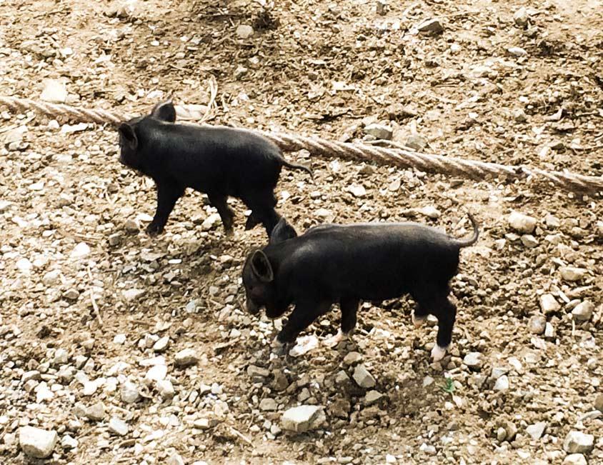 kleine-Schweine